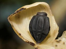 Frucht einer tropischen Pflanze auf Rakata (c) Tobias Schorr