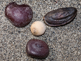 Am Strand kann man Samen tropischer Bäume sammeln. (c) Tobias Schorr