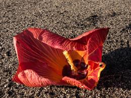 Hibiskus-Blüten (c) Tobias Schorr