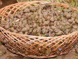 Diese Schnecken werden in den Reisfeldern gesammelt und dann gekocht verspeist. (c) Tobias Schorr