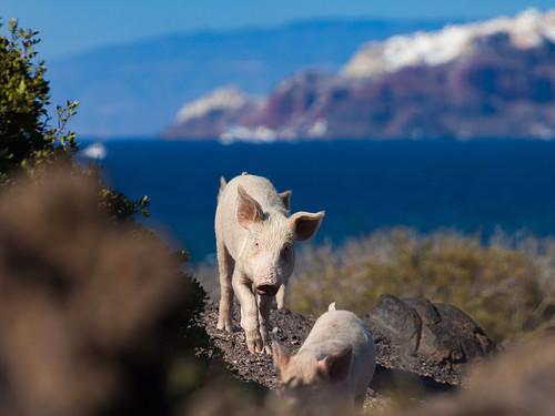 Auf Sostis Heimatinsel Palia Kameni leben inzwischen 30-40 Schweinchen in Freiheit...
