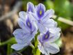 Wunderschöne Seeblume am Abaya-See (c) Tobias Schorr