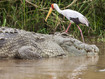 Die Krokodile tun selten den Vögeln etwas an. Menschen sind schon eher in Gefahr :-(  (c) Tobias Schorr