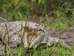Krokodil beim Gähnen... (c) Tobias Schorr