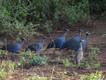 Afrikanische Perlhühner (c) Tobias Schorr