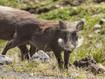 Ein Warzenschwein aus dem Bale-Tälern (c) Tobias Schorr