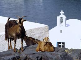 Sostis Ziegen und die Kapelle Agios Nikolaos auf Palea Kameni, (c) Tobias Schorr