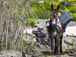 Esel auf einem Feld bei Megalochori/Santorin.