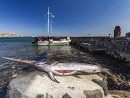 Ein frisch gefangener Schwertfisch, der im Restaurant Delfinia in Akrotiri serviert wurde.