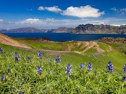 Lupinen blühen vor dem Krater des Daphne-Ausbruchs. Insel Nea Kameni/Santorin-Archipel. (c) Tobias Schorr