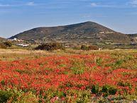 Mohnwiese vor einem der vielen Vulkane der Insel Milos